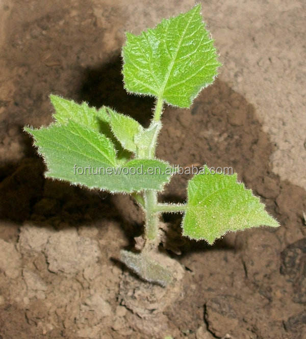 top quality paulownia seeds onsale best hybrid paulownia seeds