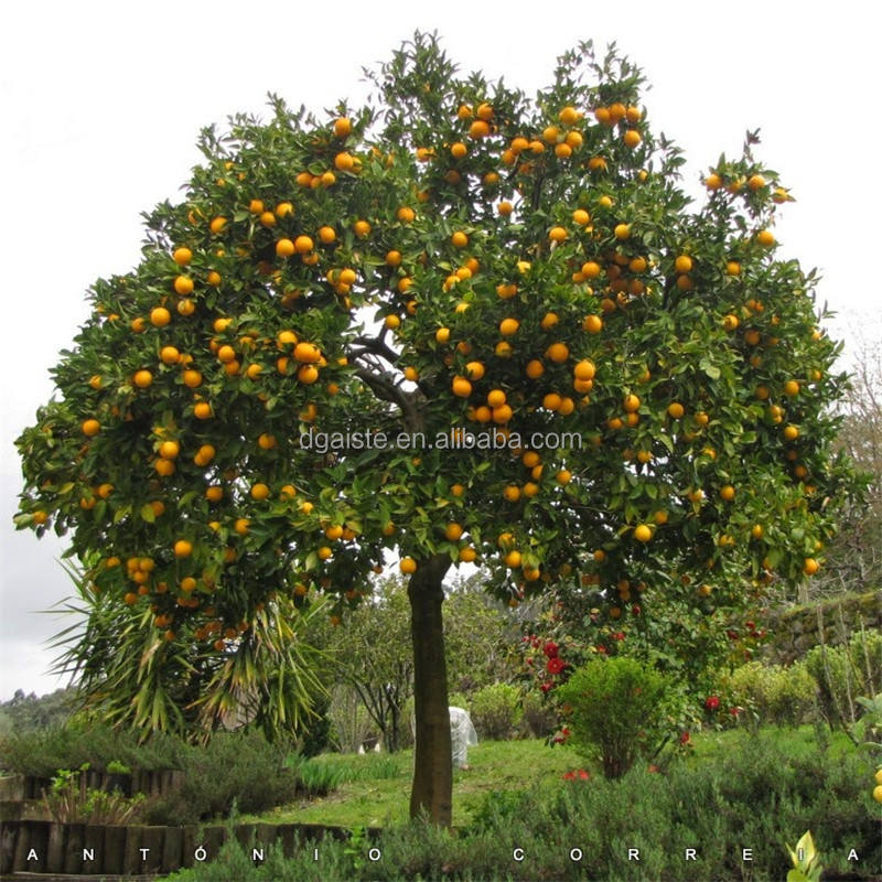 3m tall 13ft orange tree real touch Mini Potted Plants high simulation plastic bonsai tree Z31