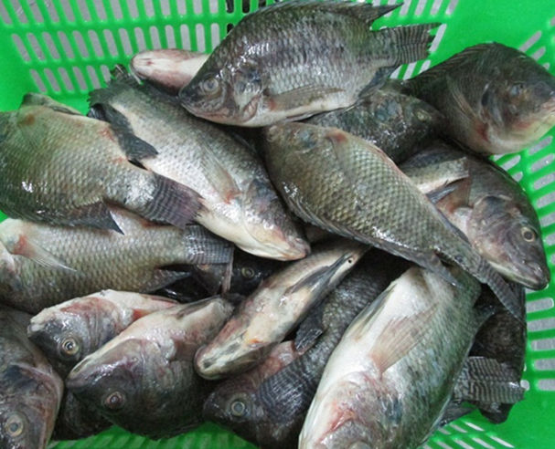 China Frozen Tilapia Fish whole round 90%NW on sale