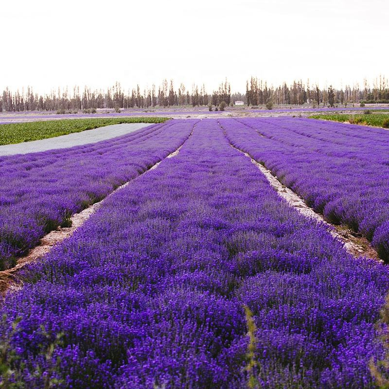 wholesale Organic Bulk Chinese lavender flowers
