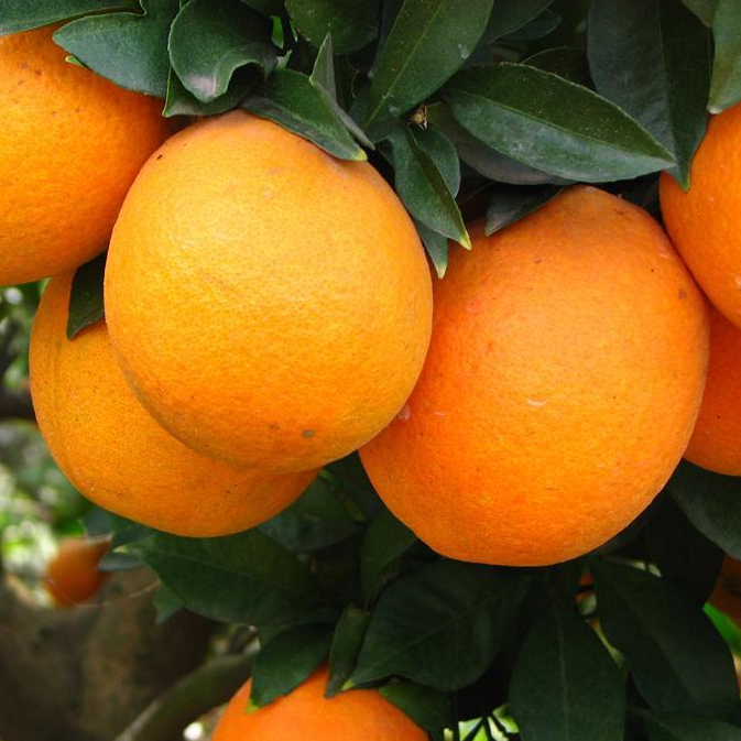 fruit tree Orange With Seeds,sweet Orange Seeds For Sale