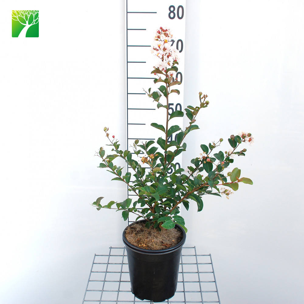 White flowers color outdoor perennial plant Lagerstroemia indica nivea