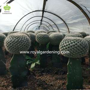 Cactus grafted indoor plants