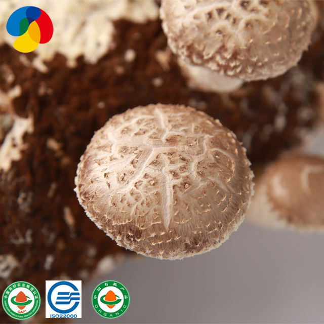 New Cultivate Type Superior Quality button mushroom spawn suppliers with low price