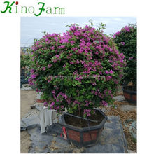 Bonsai Tree Bougainvillea For Garden Landscaping
