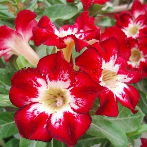 red pink white blooming Adenium obesum of outdoor indoor natural decorative ornamental plants