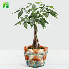 Low price green outdoor decorative foliage plant  provision tree Pachira macrocarpa