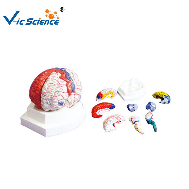 Medical Supplies Teaching Cerebral Cortical Anatomy Human Anatomical Brain Model
