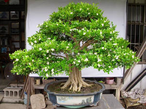 Murraya Paniculata Bonsai Murraya Paniculata Bonsai Suppliers And Manufacturers At Alibaba Com