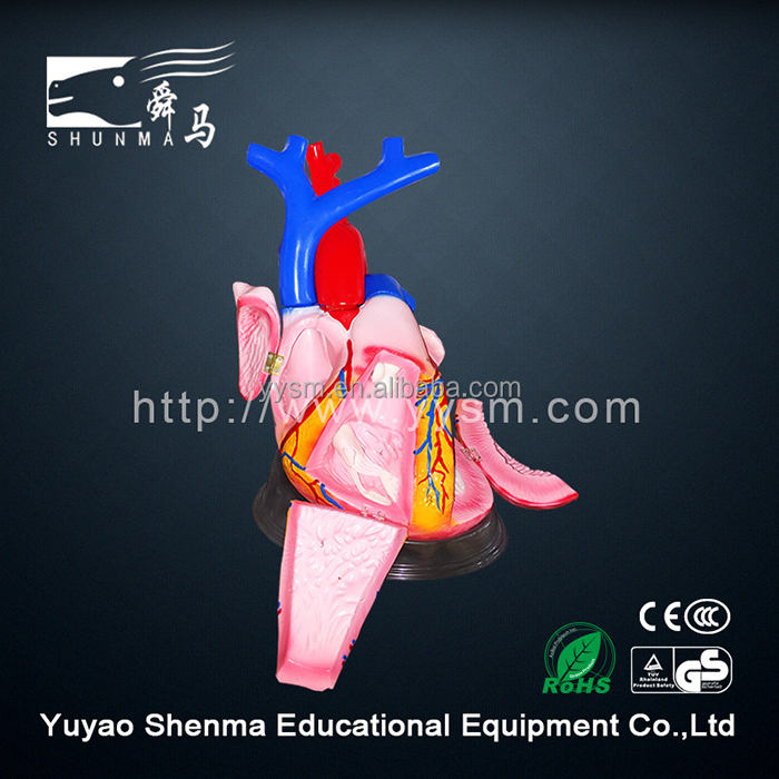 Office & School Supplies Teaching Resources Human heart anatomy model