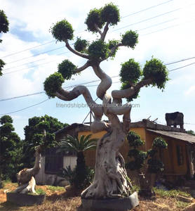 Ficus Dragon Bonsai Ficus Dragon Bonsai Suppliers And Manufacturers At Alibaba Com