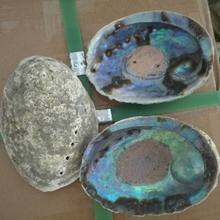 Big size raw material bulk dried abalone shell paua shell in low price