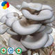 Cultivating fresh oyster mushroom spawn grow kit
