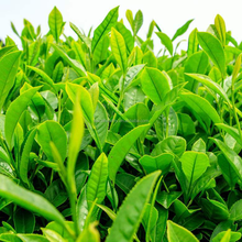 Touchhealthy supply tea seeds for planting