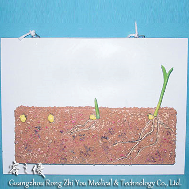 R200106 Plant Cereal Seed Anatomy Model for Biology Teaching