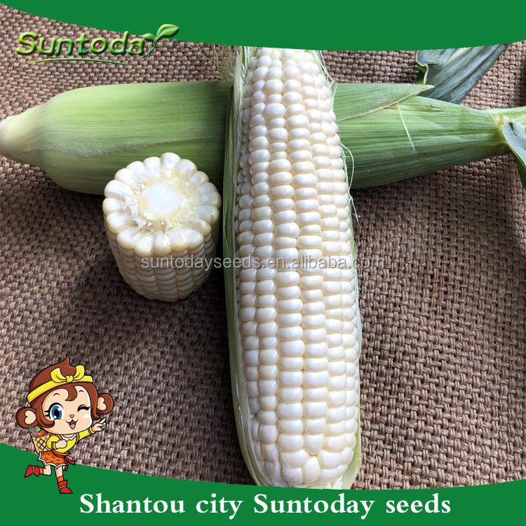 Suntodayアジア野菜非遺伝子組み換えf1食べる新鮮な甘いトウモロコシ種子用販売(61002)