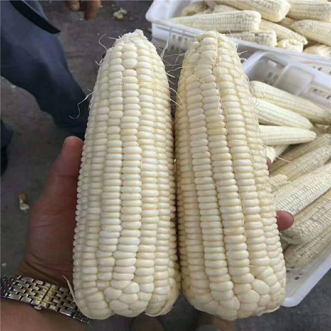 Suntoday купить онлайн пионер Замороженные сладкий белый восковидная Кукуруза семян кукурузы