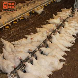 Poultry Farm Female Breeder Feeding Line,Automatic Poultry Feeder for Broiler And Breeder