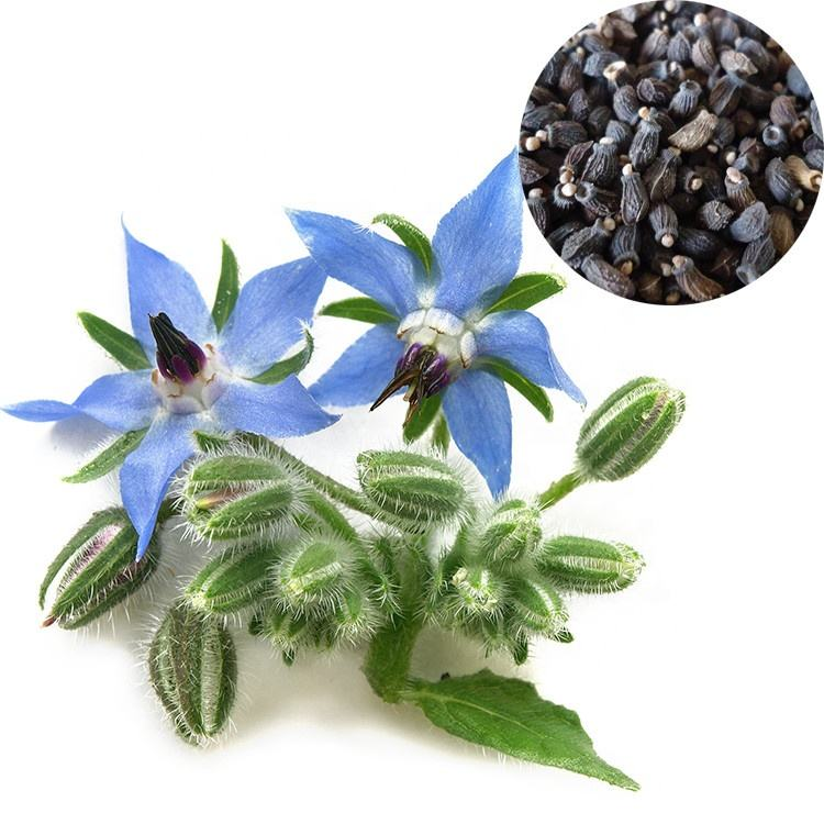 Herb Seeds Borage Starry Blue Flowers on Cucumber-Flavoured leaves