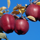 delicious red apple tree hot sale fruit new arrival red delicious apple seeds from origin