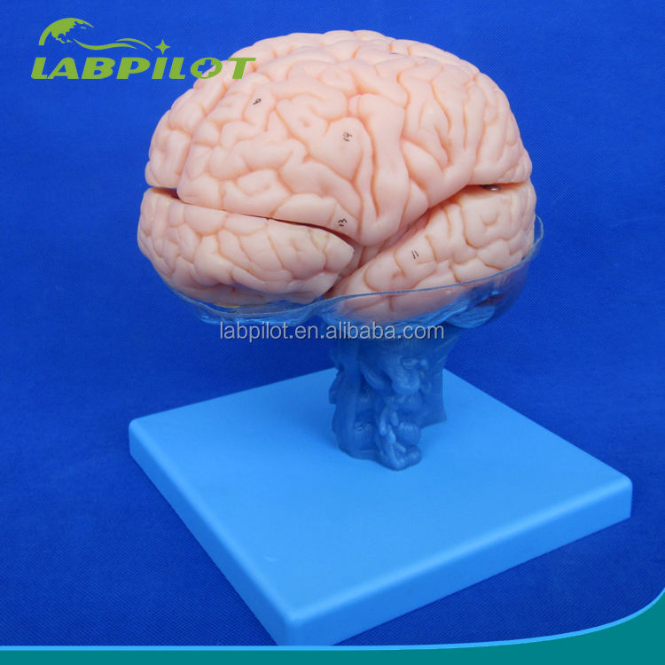 15 Pieces Brain Model with Artery Anatomy Teaching Medical Model