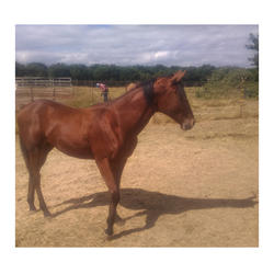 High Quality America  Racing Horses  USA Horse For Horse Race Game