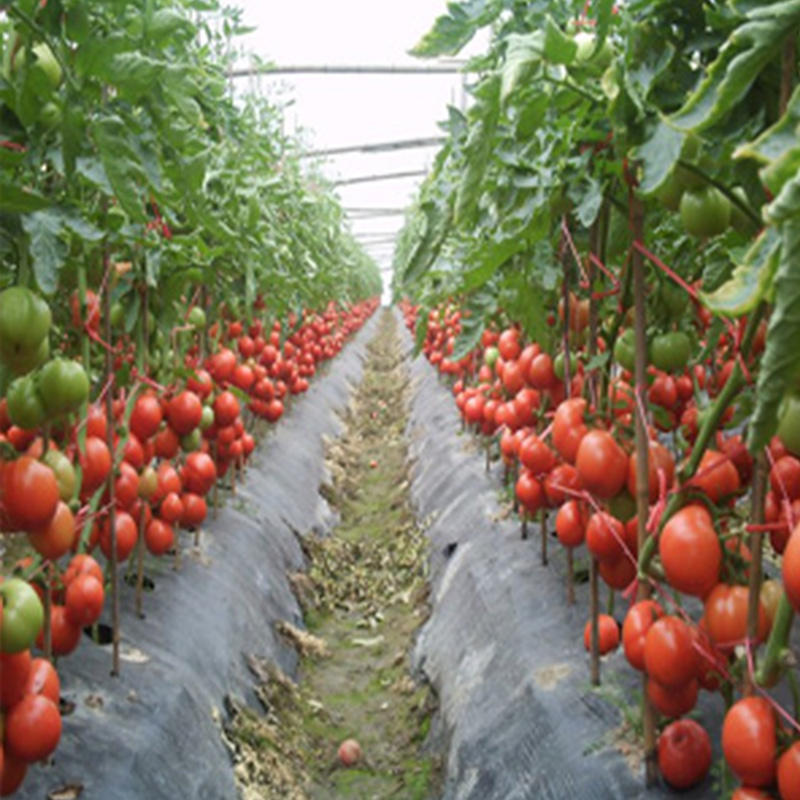 Hot sale Heat Resistant pink Tomato Seeds