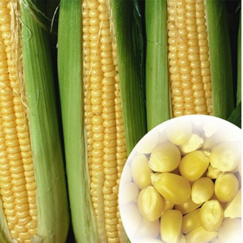 High Germination Rate Heat Resistant L High Yield Sweet Corn Seeds For Planting