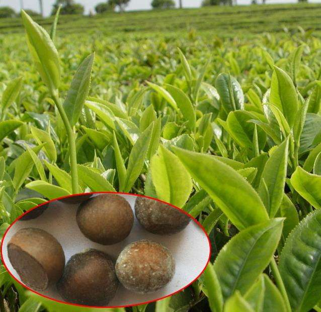 China New seeds of Camellia Sinensis for sowing
