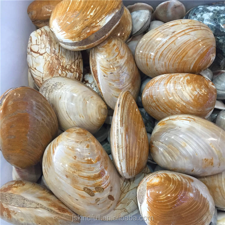 Wholesale Natural Seashell Fossils Rough Stone Crystal Gifts or Decoration