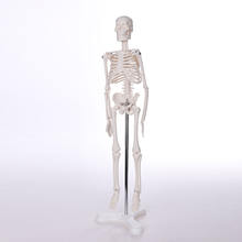 High quality Biological Anatomy entire human skeleton