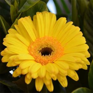 High quality gerbera jamesonii seeds/African daisy for planting