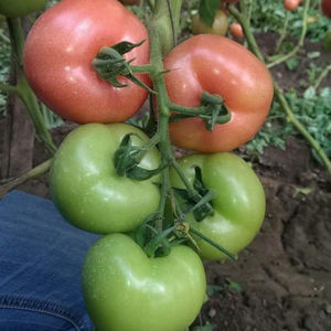 Single weighs 200-300g tomato seeds hybrid pink red tomato seeds for sale