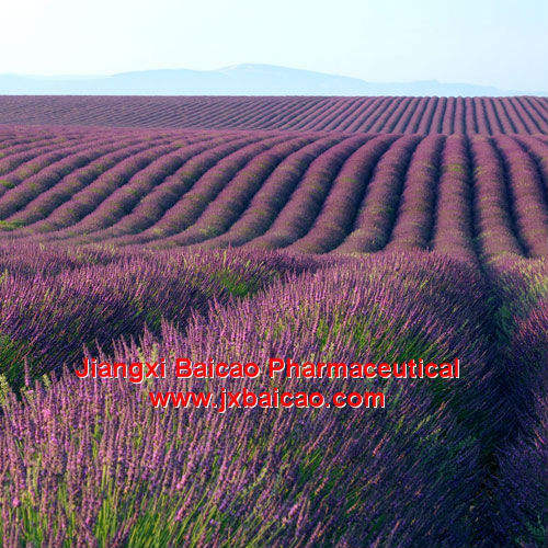 8000-28-0, Bulk 100% Pure and Natural Essential Lavender Oil