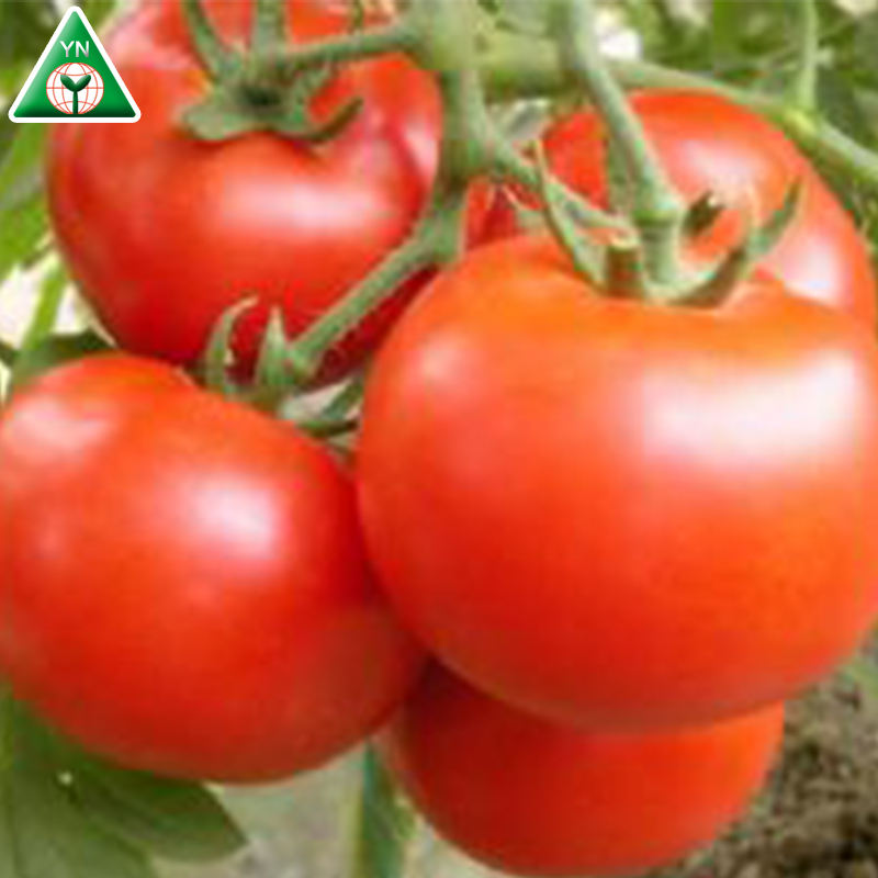 JEAN F1 Best Price Organic Tomato Powder/トマトSeeds/新鮮なTomato