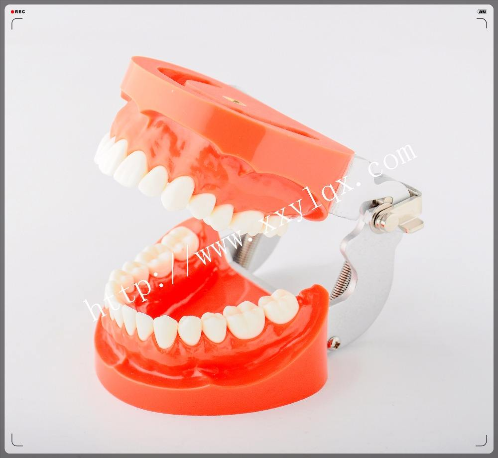 replacement teeth model for student practice nission teeth 28*1