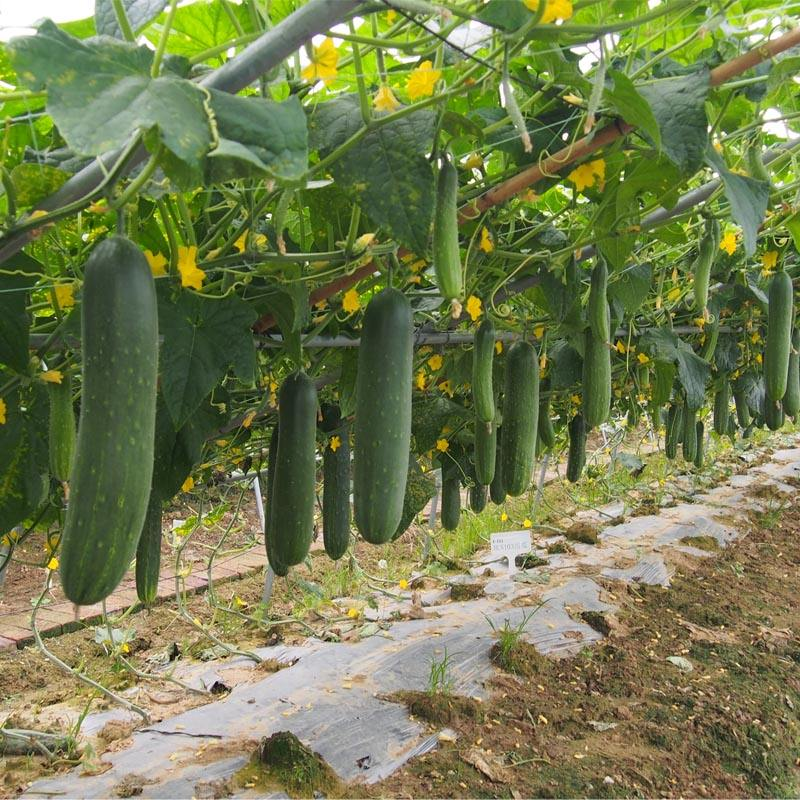 Heat disease tolerance cucumber seeds for sale