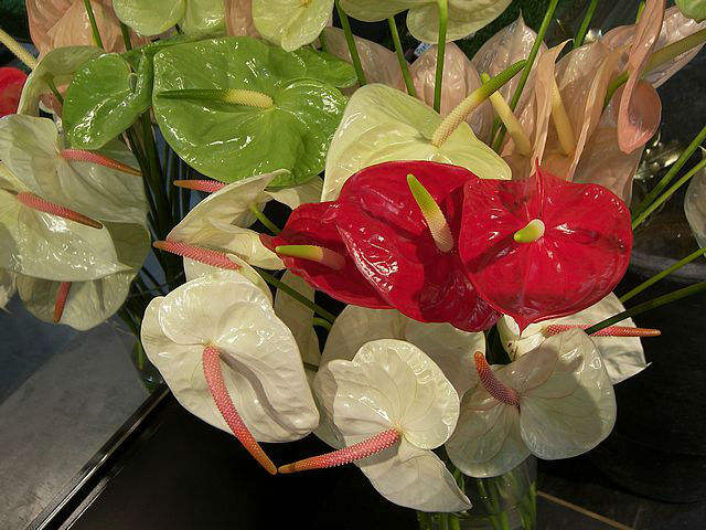 Anthurium Fresh Cut Flowers Buy Flowers Product On Alibaba Com