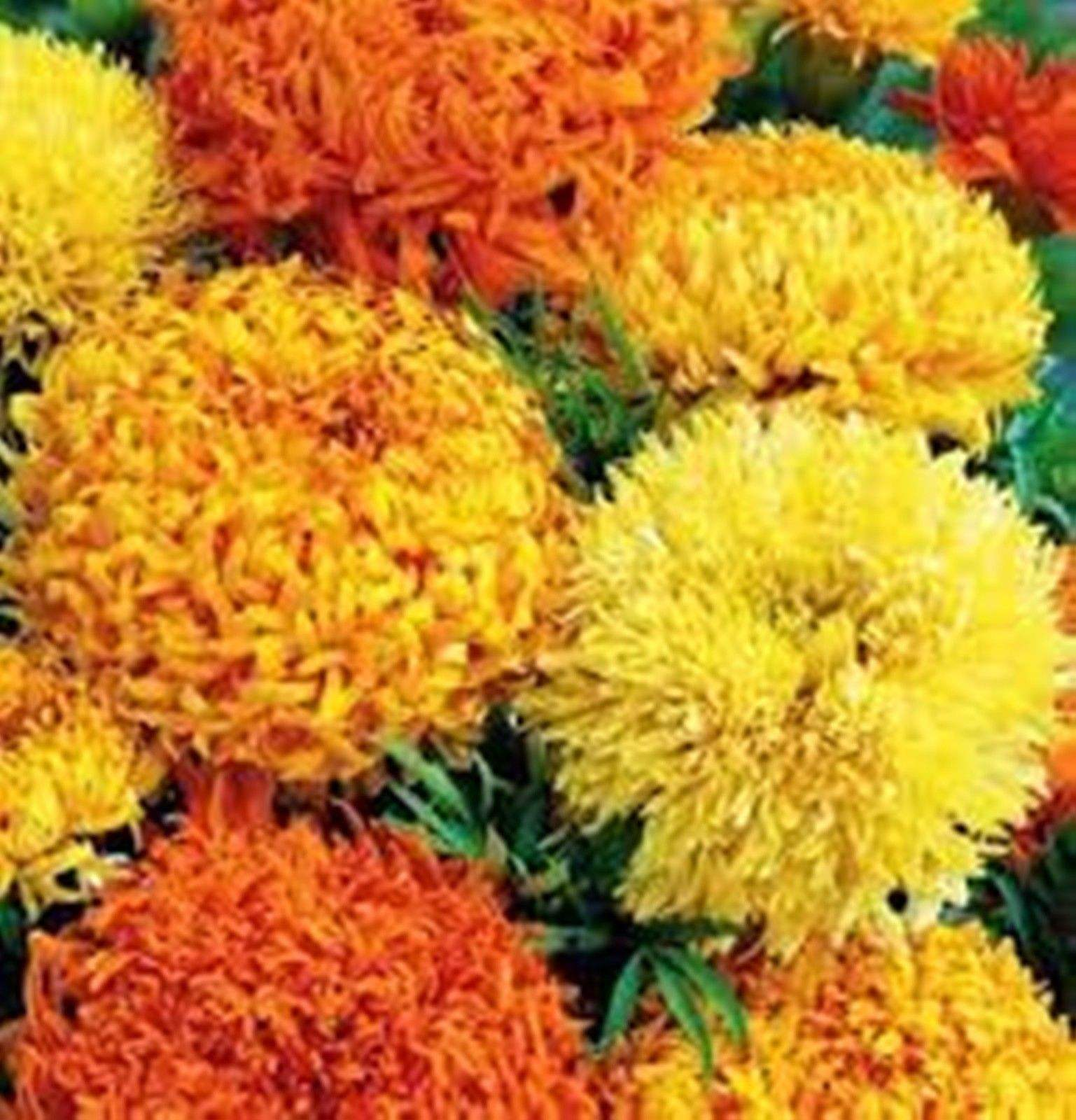 100Pcs Yellow Marigold Maidenhair Seeds Home Garden Edible Flower Plant Seed NEW