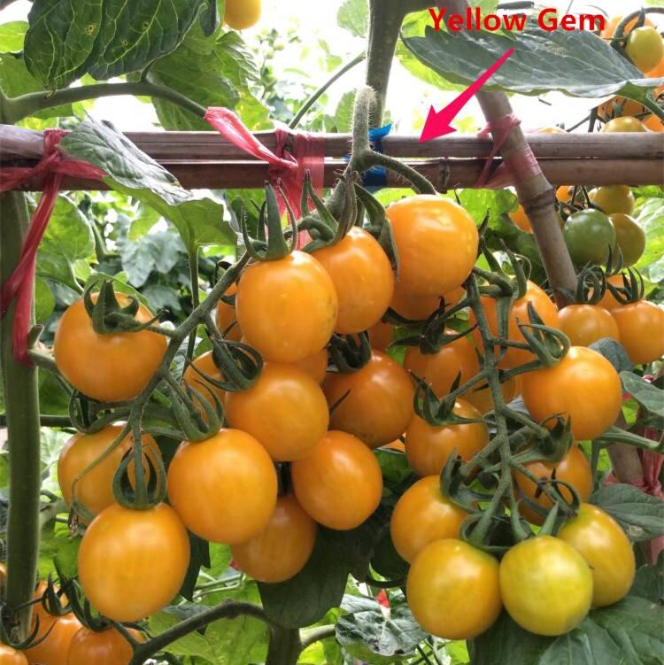 Indeterminate Growth High Yield Yellow hybrid Cherry Tomato Seeds For Growing-Yellow Gem