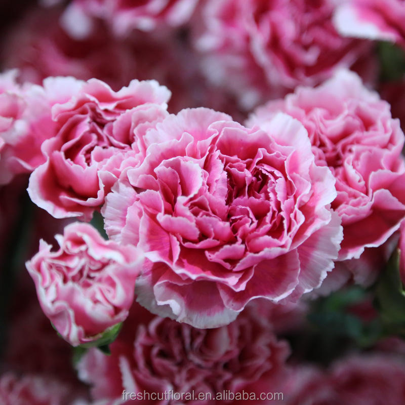 Wholesale Variety Kinds of Cut Fresh Flower Carnation