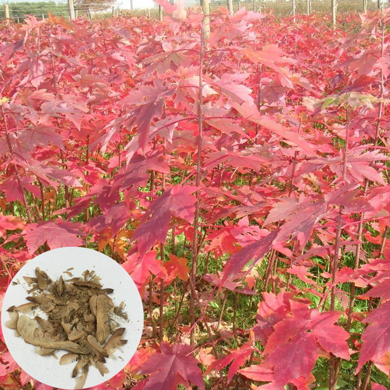 Red Maple High Quality Ornamental Tree Acer Rubrum Seeds Precious Tree Species