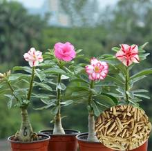 Sha mo mei gui Early maturity F1 hybrid chinese desert rose seeds plants