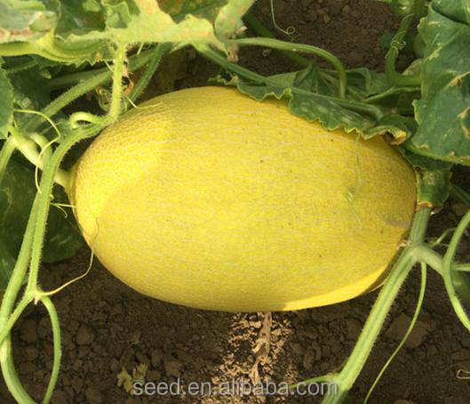 Shuangxing Hybrid Hami Sweet Melon Seed For Wholesale CKM No.3