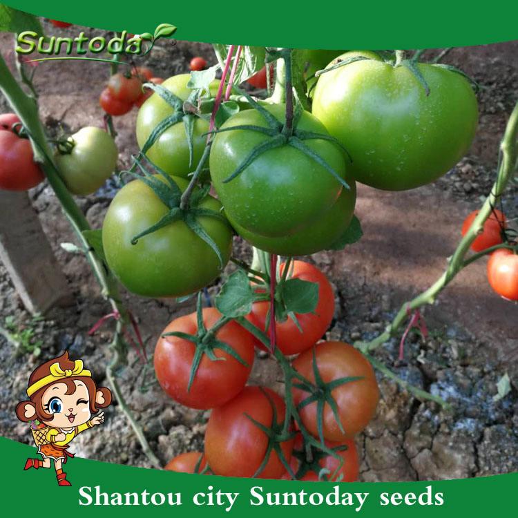 Suntoday determinate野菜ハイブリッドf1トマト盛り合わせ食用と非食用野菜苗種子収穫機(22017)