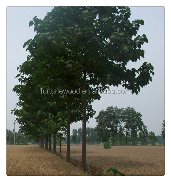 Royal paulownia shantong tree