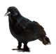 Ravens with Feather Wings Scary Standing Flying Birds Realistic Feathered Black Crows