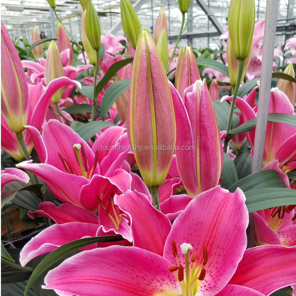 Supply 21 species cut flower lily bulb for planting