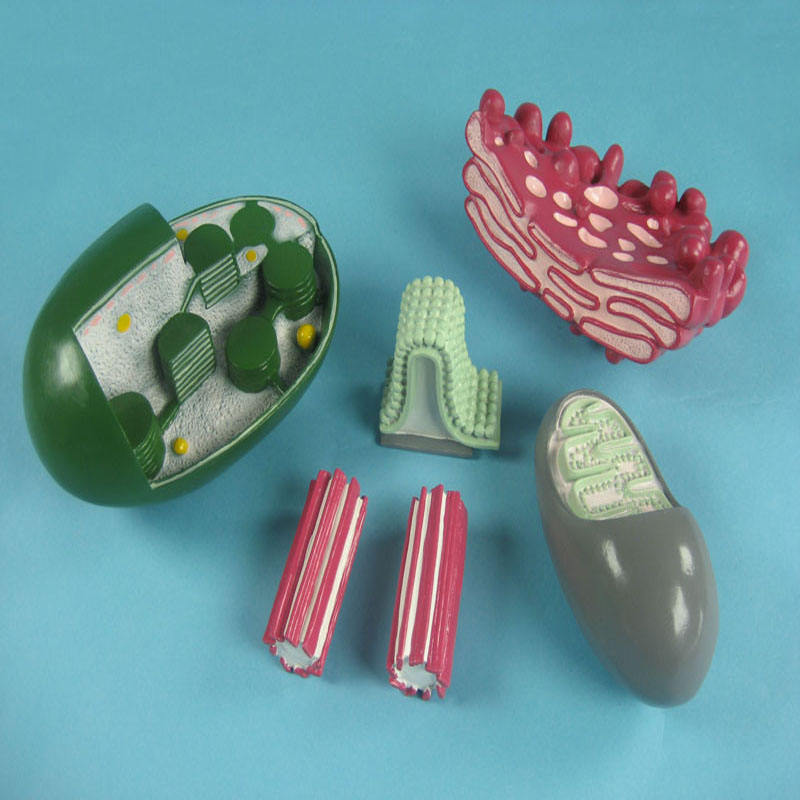 Biology Education Equipment Anatomical Enlarged Cell Mechanism Model