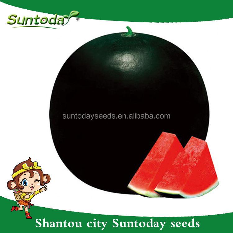 Suntoday <span class=keywords><strong>negro</strong></span> redondo rojo carne tolerante a alta temperatura asiático vegetal no GMO híbrido F1 organicwater melón